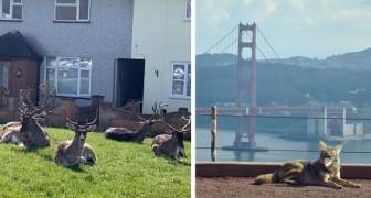 Con gli uomini in casa gli animali si impossessano delle città: alcune curiose immagini da tutto il mondo