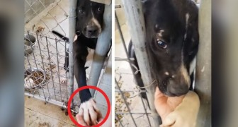 This dog shakes hands with whoever passes by his cage with the hopes of finding his forever family