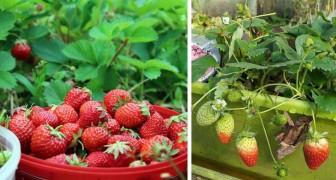Wie man Erdbeeren in Töpfen anbaut und immer einen Vorrat dieser köstlichen Sommerfrucht im Haus hat