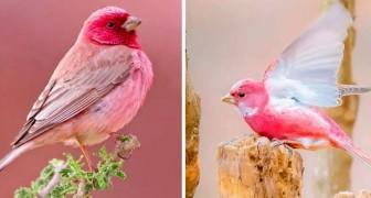 Il ciuffolotto, l'affascinante uccellino originario dell'Himalaya che sembra colorato con un pastello rosa