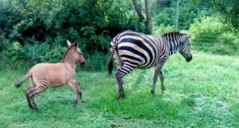 I Kenya har en zonkey-unge fötts, den lustiga korsningen mellan en zebra och en åsna
