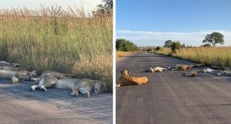 In Südafrika nutzt eine Gruppe von Löwen die Quarantäne aus, um mitten auf der Straße ein Nickerchen zu machen...