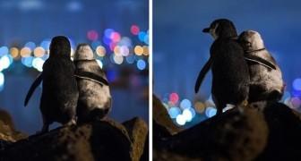 Een fotograaf legt twee pinguïns vast die weduwnaar zijn geworden en elkaar troosten door de stadslichten te observeren