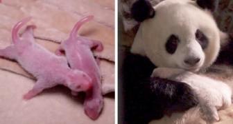 Chine, des précieux pandas jumeaux sont nés : ils ont été baptisés Sain et Sauf