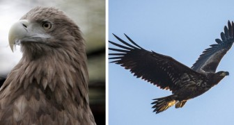 L'aquila grigia torna a volare sui cieli di Inghilterra dopo 240 anni di assenza