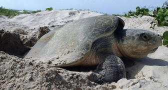 Scoperti 11 nidi di tartarughe marine sulle spiagge della Thailandia: non si vedevano da 20 anni