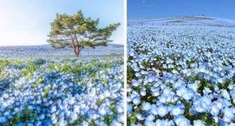In Giappone, fioriscono più di 4 milioni di fiori blu: ogni primavera diventa uno spettacolo senza precedenti