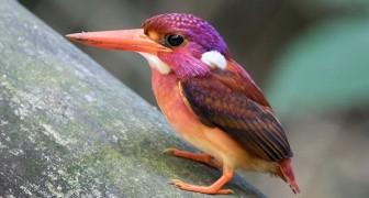 Le martin-pêcheur nain des Philippines est un oiseau coloré et très rare en danger d'extinction