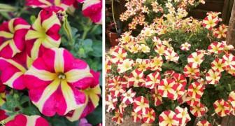 I petali colorati di questa petunia sembrano formare dei cuori perfetti: una pianta semplice, dai fiori meravigliosi