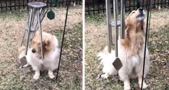 Ein sehr süße kleiner Hund singt und spielt jedes Mal, wenn er sich seinem Windspiel nähert