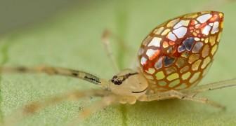 Een fotograaf weet de glans van de spiegelspinnen vast te leggen: hun buik is bedekt met zilveren vlekken