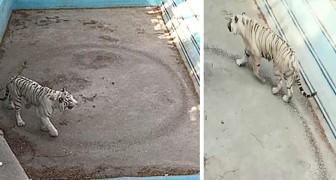 Die traurigen Bilder eines Tigers, der endlos in seinem kleinen Gehege im Pekinger Zoo kreist