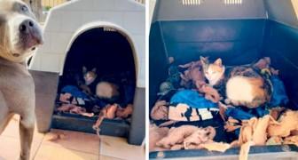 Un pitbull fa amicizia con una gatta incinta e le cede la sua cuccia per farla partorire in sicurezza