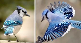 Der Blauhäher: der tiefblau gefiederte Vogel, der menschliche und tierische Laute imitieren kann