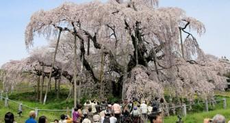 Takizakura, der 1.000 Jahre alte Kirschbaum, der Pandemien, Tsunamis und Atomkrisen überlebte