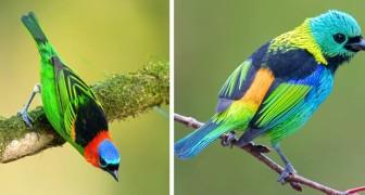 Un ragazzo immortala alcuni tra i più affascinanti e colorati uccelli che popolano le foreste brasiliane