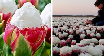 Eiscreme-Tulpen: mit rosafarbenen Blättern und einer sehr weißen Knolle, die an eine leckere Eistüte erinnert