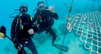 Australie : en l'absence de touristes, des plongeurs plantent des coraux pour repeupler la Grande Barrière de Corail