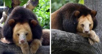 Brandy, il raro orso tibetano che sembra un leone e ha perso la sua casa per la deforestazione