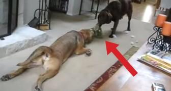 Questi cani giocano al più buffo tiro alla fune che abbia mai visto