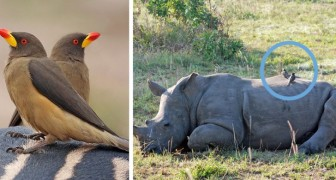 Deze vogels waarschuwen neushoorns voor de aanwezigheid van stropers: een vriendschap die de soort kan redden