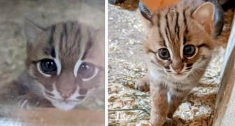 Cornovaglia: nasce una coppia di rarissimi gatti rugginosi, i più piccoli felini selvatici conosciuti in Natura