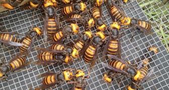 USA : le frelon-géant est arrivé, il est capable d'exterminer des ruches entières d'abeilles en quelques heures