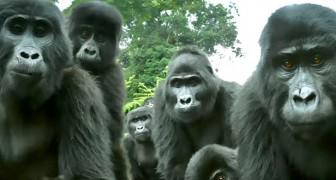 Les scientifiques écoutent pour la première fois le chant particulier de certains gorilles, grâce à un singe-robot