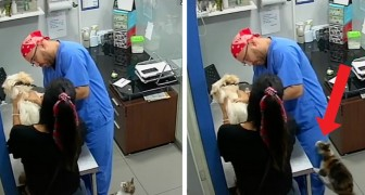 A cat hears a dog cry at the vet's and tries to defend it by scratching the veterinarian
