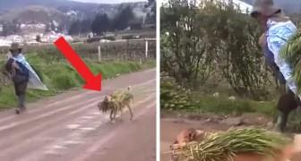 Todos los días este perro ayuda a su amigo humano a recoger las cosechas en los campos, en un verdadero trabajo en equipo