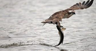 Schiuse le uova di falco pescatore nella laguna di Orbetello: negli anni '50 era scomparso dai cieli italiani