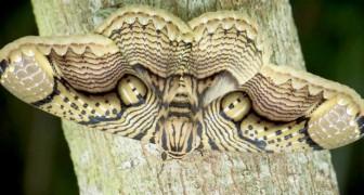 Un photographe immortalise un magnifique Brahméide de Hearsey : la forme de ses ailes rappelle les yeux d'un tigre