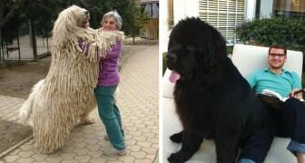 18 Fotos von XXL-Hunden, die wirklich keine Ahnung von ihrer Körpergrösse haben