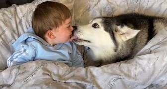 Ce doux husky refuse de sortir du lit de son petit maître et finit par s'endormir avec lui