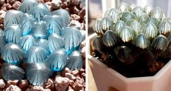 Ces originales plantes succulentes ont des feuilles qui rappellent des cristaux magiques et transparents