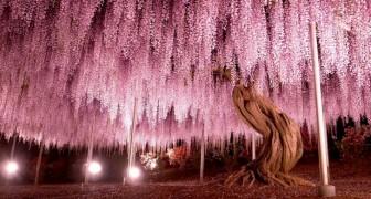In Giappone esiste un albero di glicine spettacolare: ha 144 anni e un'estensione di quasi 2000 metri quadri