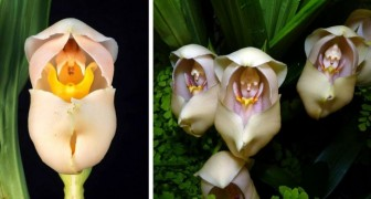 L'Anguloa Uniflora, l'orchidée particulière qui ressemble à un bébé emmitouflé dans un couffin