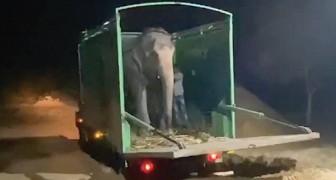 Un'elefantessa cieca fa i suoi primi passi in libertà dopo 46 anni in catene: inizia per lei una nuova vita