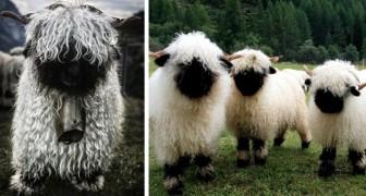 """Grappig en verontrustend tegelijk: deze schapen met de """"zwarte neuzen"""" zien eruit als de leden van een metalband"""