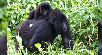 Congo, 12 ranger e 4 civili uccisi in un terribile agguato: da anni difendevano i gorilla dai bracconieri