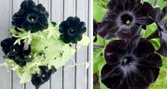 Le petunie Black Magichanno dei petali talmente neri che sembrano uscite dal giardino di una strega