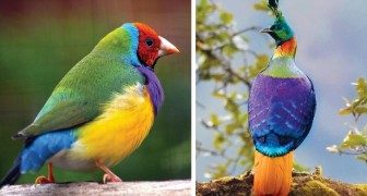 13 uccelli tra i più belli al mondo il cui piumaggio è un'esplosione di colore
