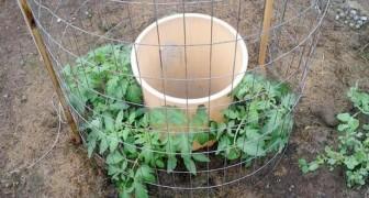 Tomatenzucht im eigenen Garten mit Plastikeimer
