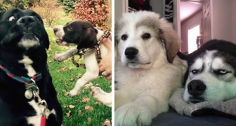 20 lustige Bilder von Hunden, deren Besitzer ihr Leben ruiniert haben, indem sie einen weiteren Welpen adoptiert haben