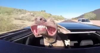 Viaja con la cabeza fuera del techo: la cara de este perro es de morir de la risa!