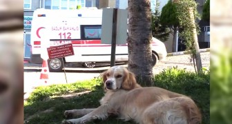 A man gets hospitalized after contracting the Coronavirus: his dogs waits outside the hospital for days