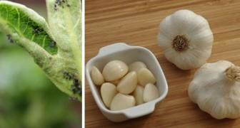 4 dritte utili e facilissime per utilizzare l'aglio contro i parassiti del giardino