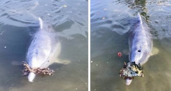 Questo delfino ringrazia gli umani che lo nutrono portando a riva conchiglie e coralli dal fondale marino