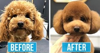15 foto's van honden die er na het trimmen niet meer hetzelfde uitzien