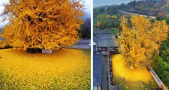 Quest'albero ha più di 1400 anni e ogni autunno si colora di giallo incantando i turisti di mezzo mondo